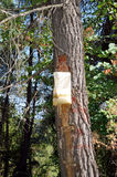 Collecting pine resin Stock Photos