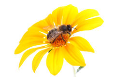 Collecting pollen. Background image aisaldo nature to be more commercial royalty free stock photos