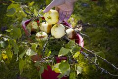 Collecting Rotten Apples Royalty Free Stock Photos