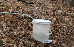 Collecting sap in buckets Stock Image