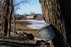 Collecting sap on the edge of a field Stock Images
