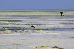 Collecting seaweed, Uroa Beach, Zanzibar, Tanzania. UROA is a small and centerless village with resorts on the southern and northern side of its bay which lies royalty free stock photography