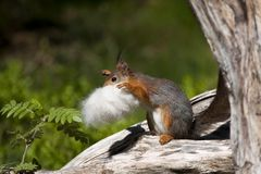 Collecting. A squirrel collecting nesting material stock photos