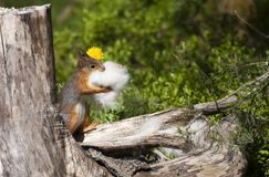 Collecting. A squirrel collecting nesting material royalty free stock photos