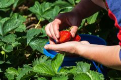 Collecting sweet strawberries on the plantation stock photo