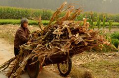 Collecting Sweetcorn in Village Commune, China Royalty Free Stock Images