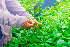Collecting tea leaves. stock images
