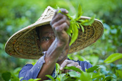 Collecting Tea Plant. A farmer harvest green tea bush. Moulvibazar, bangladesh Stock Image