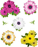 A collection of African Daisy  illustrations Stock Photos