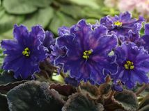 Collection African violets. VaT Pavlin Peacock Stock Photo