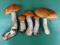 A collection of aurantiacum from european forest Stock Photos