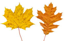 Collection of autumn leaves Royalty Free Stock Photo