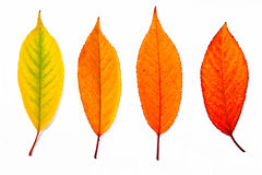Collection autumn leaves of cherry tree isolated on white. Stock Photos