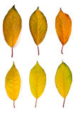 Collection autumn leaves of cherry tree isolated on white. With Royalty Free Stock Photos