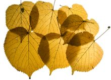 Collection autumn leaves of lime tree Royalty Free Stock Photo