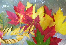 Collection of autumn leaves on table. Collection of autumn leaves including red and yellow maple on a glass table Royalty Free Stock Image
