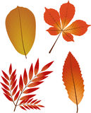 Collection of autumn leaves. Stock Images