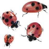Collection avec une coccinelle Illustration d'insecte d'isolement sur le fond blanc Coccinelle pour la conception illustration stock