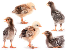 Collection baby chicken royalty free stock photography