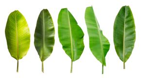 Collection of banana leaf isolated on white background. Tropical plant stock photo