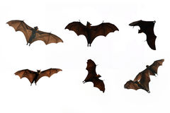 Collection Bat isolate on white background - Halloween festival Royalty Free Stock Image
