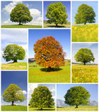 Collection of beautiful big and perfect old trees Royalty Free Stock Images
