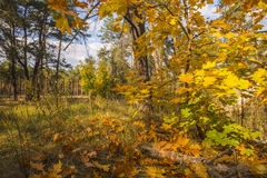 Collection of Beautiful Colorful Autumn Leaves / green, yellow,. Bright autumn forest with fallen maple leaves in the foreground Stock Images