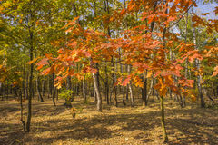 Collection of Beautiful Colorful Autumn Leaves / green, yellow,. Bright autumn forest with maple in the foreground Stock Photo