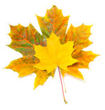 Collection beautiful colorful autumn leaves Stock Image