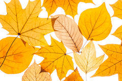 Collection beautiful colorful autumn leaves Royalty Free Stock Image