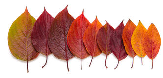 Collection beautiful colorful autumn leaves isolated on white background Royalty Free Stock Images