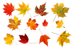 Collection beautiful colourful autumn leaves Royalty Free Stock Photos