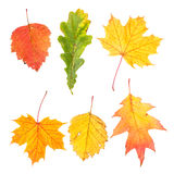 Collection  of beautiful colourful autumn leaves Royalty Free Stock Image