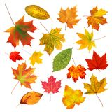 Collection beautiful colourful autumn leaves isolated on white Royalty Free Stock Photography