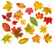 Collection beautiful colourful autumn leaves isolated on white Stock Images