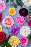 Collection of beautiful Summer Roses on a gray. Collection of beautiful multi-colored roses, top view Royalty Free Stock Photography