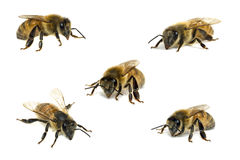 Collection bees on white stock image
