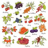 Collection of berries Vector illustration Stock Photo