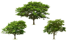 Collection big green tree is bright on the white. Background Royalty Free Stock Image