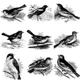 Collection of bird illustrations Royalty Free Stock Image