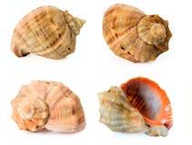 Collection of the Black Sea co. Ckleshells -Rapana venosa (thomassiana Stock Images
