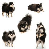 Collection of black tan pomeranian puppy on white background Royalty Free Stock Images