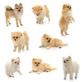 Collection of black tan pomeranian puppy on white background Stock Photo