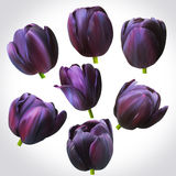 Collection of Black Tulips heads for design. Set of floral buds Stock Photos