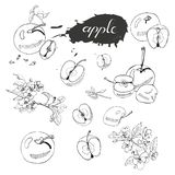 Collection of blossoming branch of apple tree, abstract spot, lettering and whole and sliced apples. Hand drawn sketch of malus f. Lowers and apples isolated on vector illustration