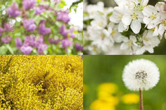Collection of blossoms. Spring concept. Set of 4 different spring blossoms: lilac bokeh, yellow flowering,  apple tree blooming and blowball -  shallow depth of Royalty Free Stock Images