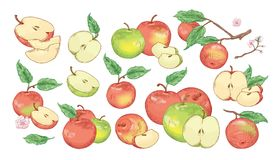 Collection of botanical drawings of whole and cut apples, slices, tree branches and flowers isolated on white background. Set of fresh juicy fruit. Realistic Royalty Free Illustration