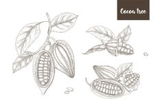 Collection of botanical drawings of whole and split ripe pods or fruits of cocoa tree, branches and leaves hand drawn. With contour lines on white background royalty free illustration