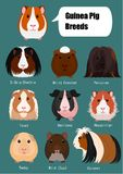 Collection of breeds of guinea pig with breeds name. On blue background stock illustration