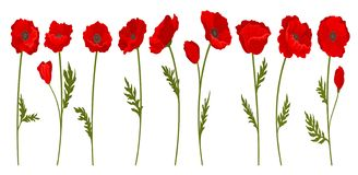 Collection of bright blooming red poppy flowers with stems and leaves, floral design element vector Illustration on a. Collection of bright blooming red poppy royalty free illustration